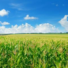 green corn field and blue sky
