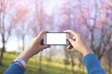 image of female's hand holding a white smartl phone with blank white screen try take photo of nature view of cherry blossom trees on background