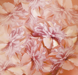 Floral red-pink background. Bouquet of flowers of peonies. Pink-white petals of the peony flower. Close-up. Nature.