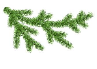 Green spruce branch.