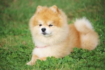 un petit chien spitz nain est couché dans l'herbe et écoute son maître à distance