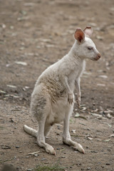 albino wallaby joey