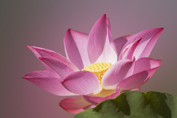 The bright lotus on the natural background.