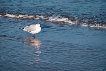 Eine Möwe steht am Strand im Wasser
