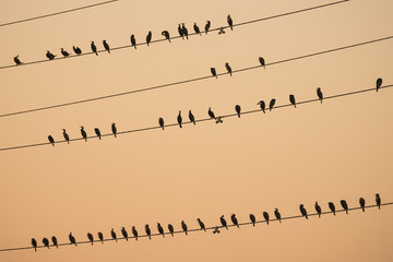 Flock of great cormorants on power lines look like music notes at sunset.