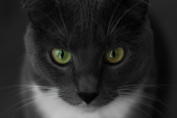 Close-up Portrait of Angry Grey Cat with Green Eyes Looking in Camera Isolated on Black Background, Front view