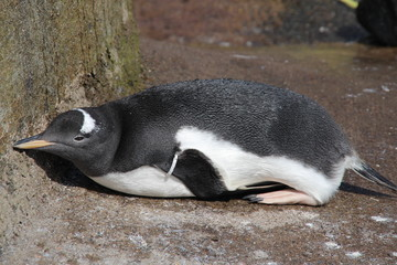 lazy penguin