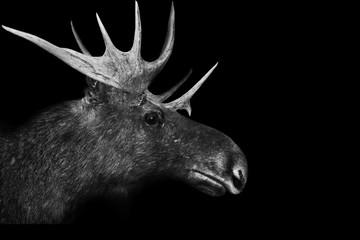 moose isolated black white animal