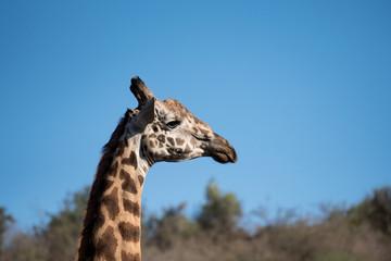 Giraffe and blue sky