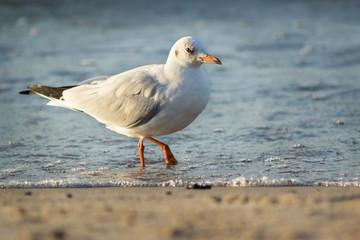 Seagull in the sea