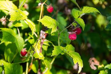 Ripe raspberries on a bush in garden