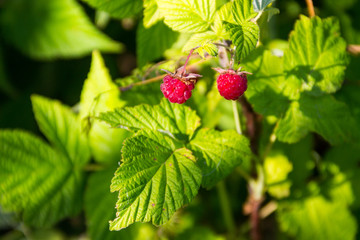 Ripe raspberries on a bush in garden