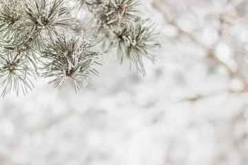 Pine-tree branch winter background