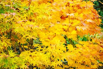Beautiful autumn background, yellow maple foliage in japan