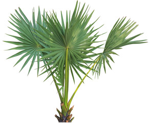 young Betel palm on isolate background and clipping path