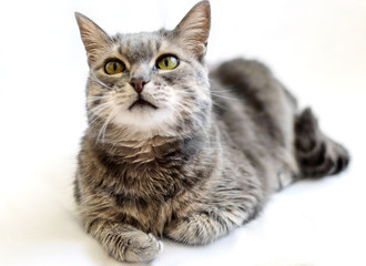 Grey cat on a white background