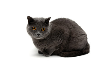 cat breeds Scottish Straight isolated on white background