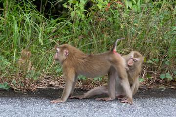 Monkeys in Forest.