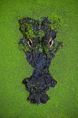 Close up portrait of crocodile in green duckweed