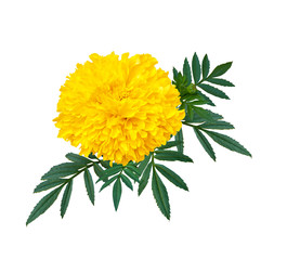 marigold or calendula flower with green leaf isolate on white background