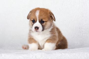 Corgi puppies on white background