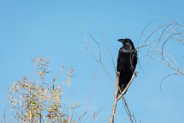 Crow perching in tree along Rio Grande River in New Mexico