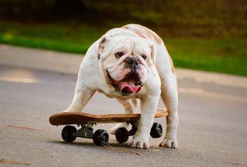 English Bulldog outdoor portrait standing on skateboard