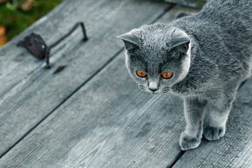 Gray cat with yellow eyes on a wooden table top in gray. Breed Scottish Straight