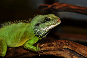 Iguana sitting on a branch
