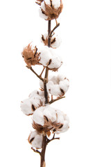 branch with cotton bolls isolated
