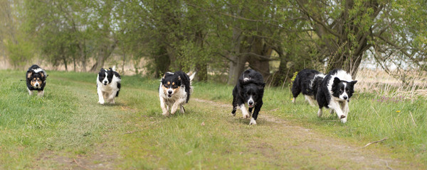 Border Collie - Many dogs run across a path beside a meadow