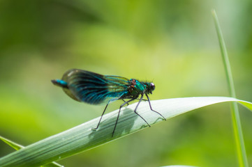 Banded Demoiselle on a blade of grass