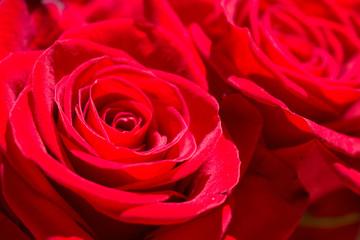Roses. Two beautiful red roses. Blooming flowers. Macro.