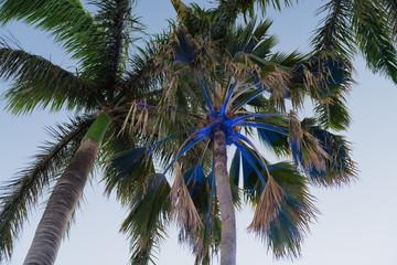 blau beleuchtete Palme