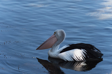 Pelikan im Wasserspiegel