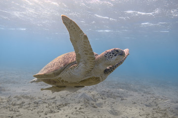 Green sea turtle swimming in the tropical sea