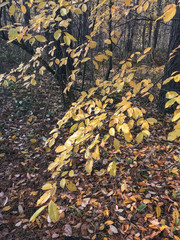 yellow leaves in the autumn forest