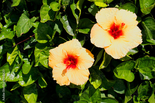 Hibiscus Tropical Bush With Yellow Flowers Mediterranean Plant