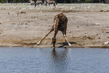 Giraffe, drinking