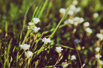 Wild wite flowers. in meadow. Beautiful nature colors in goood sunlight. Spring in Latvia.