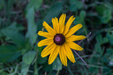 A tiny green bug on a pretty black eyed susan flower with a bokeh background