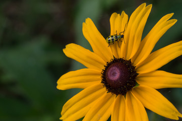 A cute little green insect walks along the delicate petals of a black eyed susan flower. The photographer captured a nice bokeh effect.