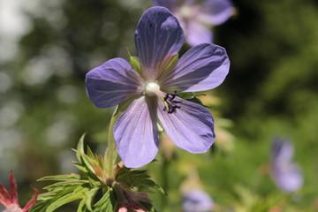 """""""Meadow Geranium"""" flower (or Meadow Crane's Bill, Crowfoot, Wild Geranium, Wiesen Storchschnabel) in St. Gallen, Switzerland. Its Latin name is Geranium Pratense, native to Europe and Asia."""