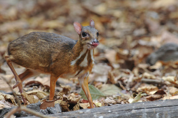 Lesser mouse-deer in thailand forest.