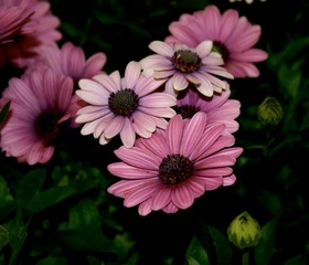 macro shot of group of pink and purple daisies with dark background