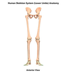 Human Skeleton System Lower Limbs Anatomy (Anterior View)