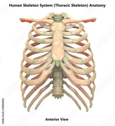 Human Skeleton System Thoracic Skeleton Anatomy (Anterior View ...