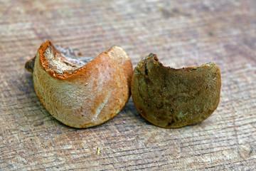 Phellinus pomaceus fungus