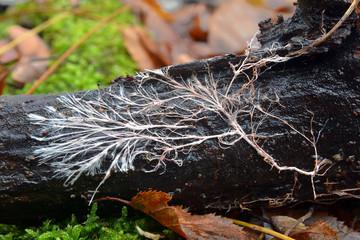 mycelial cord, rizomorph
