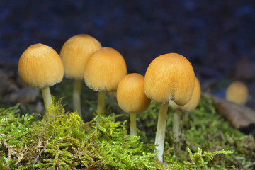 coprinellus saccharinus mushrooms